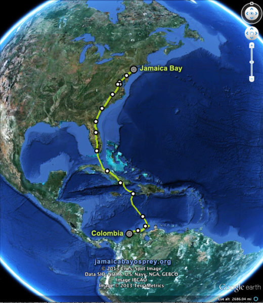 Migration map showing one osprey's journey, tracked for the Conservancy's Jamaica Bay Osprey Project in 2013