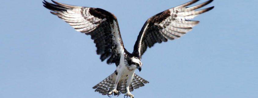NASA photo of osprey hovering in flight