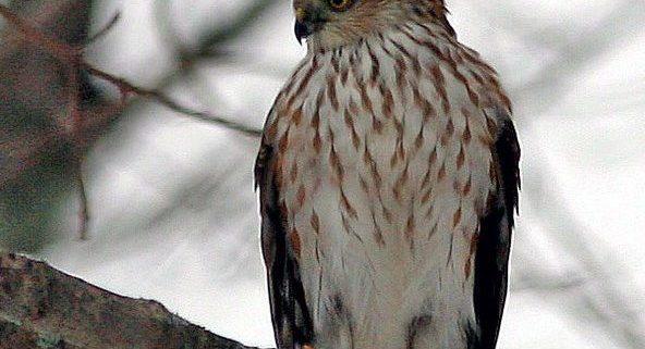 Fall Hawk Migration New York Harbor Parks